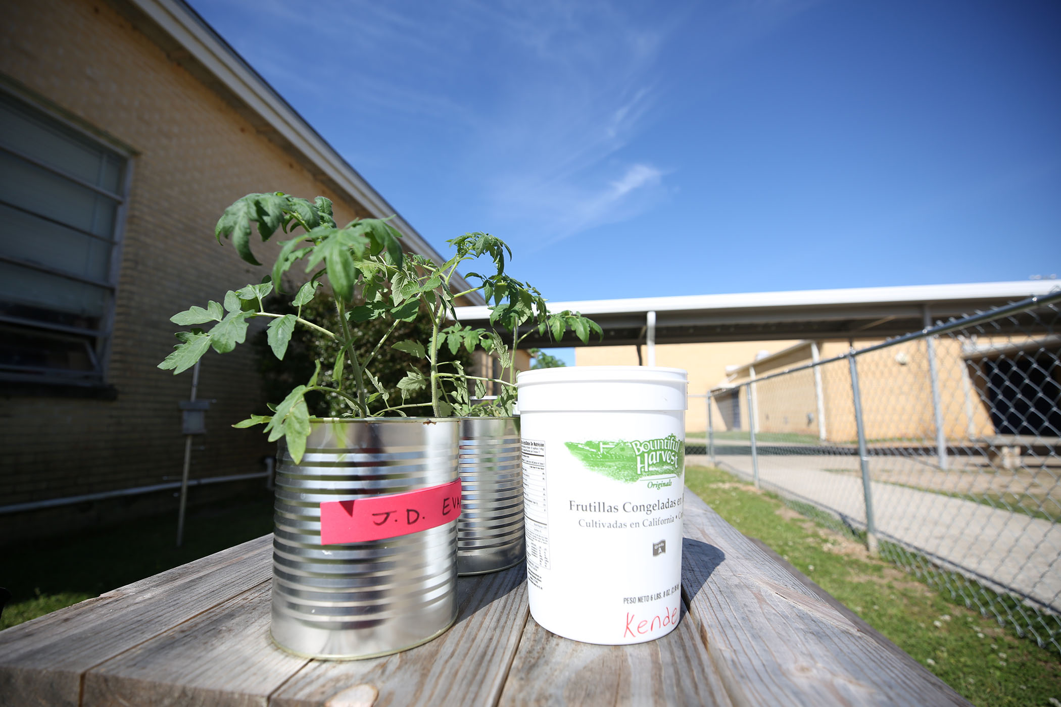 QHS students grow tomato plants outside of their classroom.